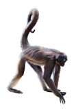 White-bellied spider monkey Royalty Free Stock Image
