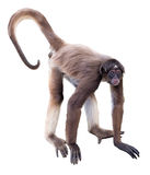 White-bellied spider monkey Stock Image