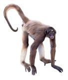 White-bellied spider monkey Stock Image