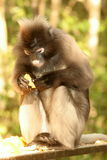 White-bellied Spider Monkey. We saw this monkeys at Monkey World near Plettenberg bay Stock Photos