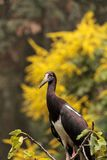 White-bellied stork also called Abdims Stork Ciconia abdimii Royalty Free Stock Photo