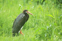 White-bellied stork Stock Image