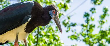 White bellied stork with its face in closeup, tropical bird specie from Africa royalty free stock photography