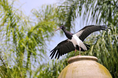 White-bellied Stork on jar Stock Photography