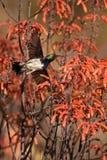 White-bellied Sunbird Stock Photography