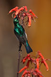 White-bellied Sunbird Stock Image