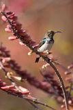 White-bellied Sunbird Royalty Free Stock Images