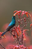 White-bellied Sunbird Stock Images