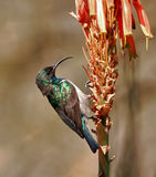 White bellied Sunbird Stock Image