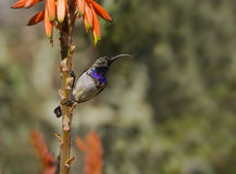 White Bellied Sunbird Royalty Free Stock Images