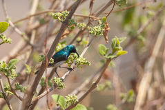 White-bellied Sunbird Royalty Free Stock Photos