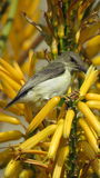 White bellied sunbird (Female) Royalty Free Stock Photography