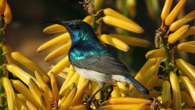 White bellied sunbird (Male). Stock Photos