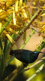 White bellied sunbird (Male). Stock Photo