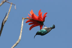 White-bellied sunbird & red flower, Gambia. White-bellied sunbird (Cinnyris talatala) hanging from a beautiful red flower, Gambia stock photography