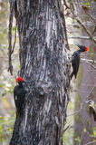 White bellied woodpecker pair Stock Photography