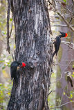 White bellied woodpeckers Stock Images