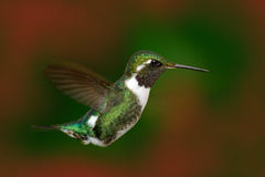White-bellied Woodstar, Chaetocercus mulsant, hummingbird with c. Lear green background, bird from Tandayapa, Ecuador. Wildlife scene from nature. Birdwatching Royalty Free Stock Photography