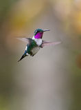 White-bellied Woodstar in flight Stock Photo