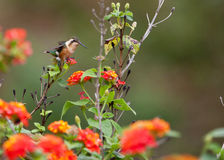 White-bellied Woodstar on red flower Stock Photos