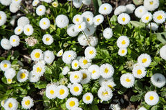 White bellis  flowers. Close-up shot. Royalty Free Stock Images