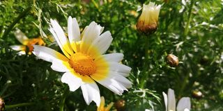 Bellis perennis flowers. White bellis perennis flowers Royalty Free Stock Photos