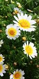 Bellis perennis flowers. White bellis perennis flowers Stock Image