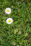 White bellis perennis Stock Image