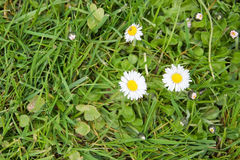 White bellis perennis Royalty Free Stock Photo