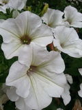 White bells flowers in Dolomiti Stock Image