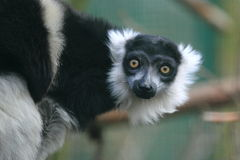 White-belted black-and-white ruffed lemur Royalty Free Stock Photo