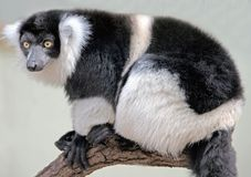 White-belted ruffed lemur 1 Royalty Free Stock Photography