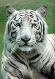 White Benagal Tiger. White Bengal Tiger in a close uip view portrait looking into the camera royalty free stock photography