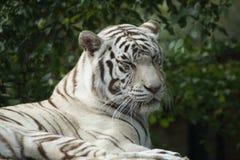 White Benagal Tiger - Siberian Albino Tiger Stock Images