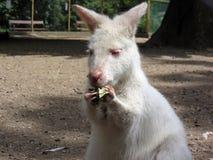 White Benett kangaroo or Dendrolagus bennettianus Stock Images