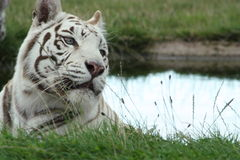 White bengal Royalty Free Stock Photos
