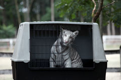 White bengal baby tiger Stock Images