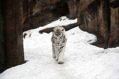 White Bengal Tiger Royalty Free Stock Photos
