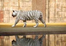 White Bengal Tiger. This is a shot of an albino white bengal tiger royalty free stock photography