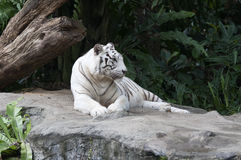 White Bengal Tiger. White tigers are a color morph of any subspecies of tiger whose fur is white or almost white with black to light ash-grey stripes, though it Stock Images