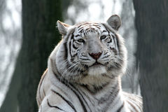 White bengal tiger. Close up of a male white bengal tiger Royalty Free Stock Photography