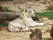 White Bengal Tiger Stock Image