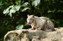 White bengal tiger Royalty Free Stock Photos
