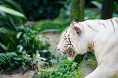 White bengal tiger. In the tropical forest Stock Photo