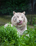 White Bengal Tiger. Stock Photo