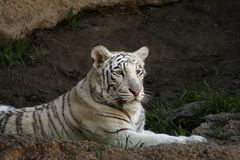 White Bengal Tiger. Young White Bengal Tiger laying down Stock Photo