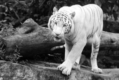 White Bengal Tiger. Rare white Bengal Tiger turning on a rock in a zoo Royalty Free Stock Image