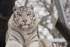 White Bengal Tiger. A very rare white bengal tiger royalty free stock images