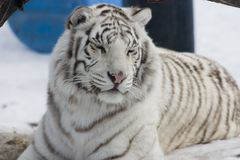 White Bengal Tiger. A white bengal tiger stock photography