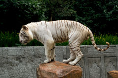 White bengal tiger balancing Stock Photography